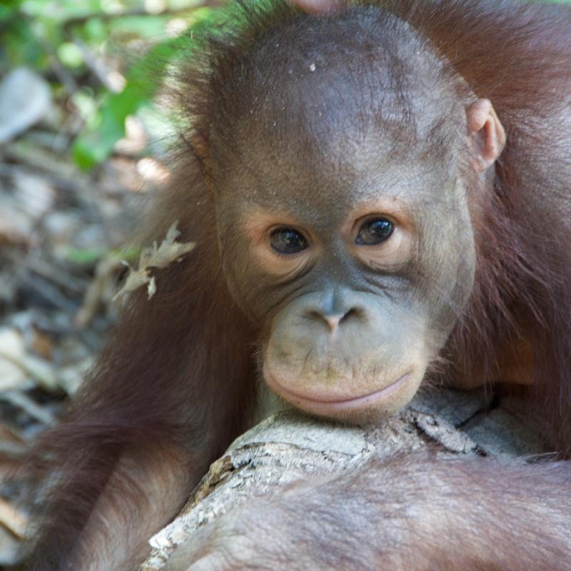An orangutan looks straight into the camera
